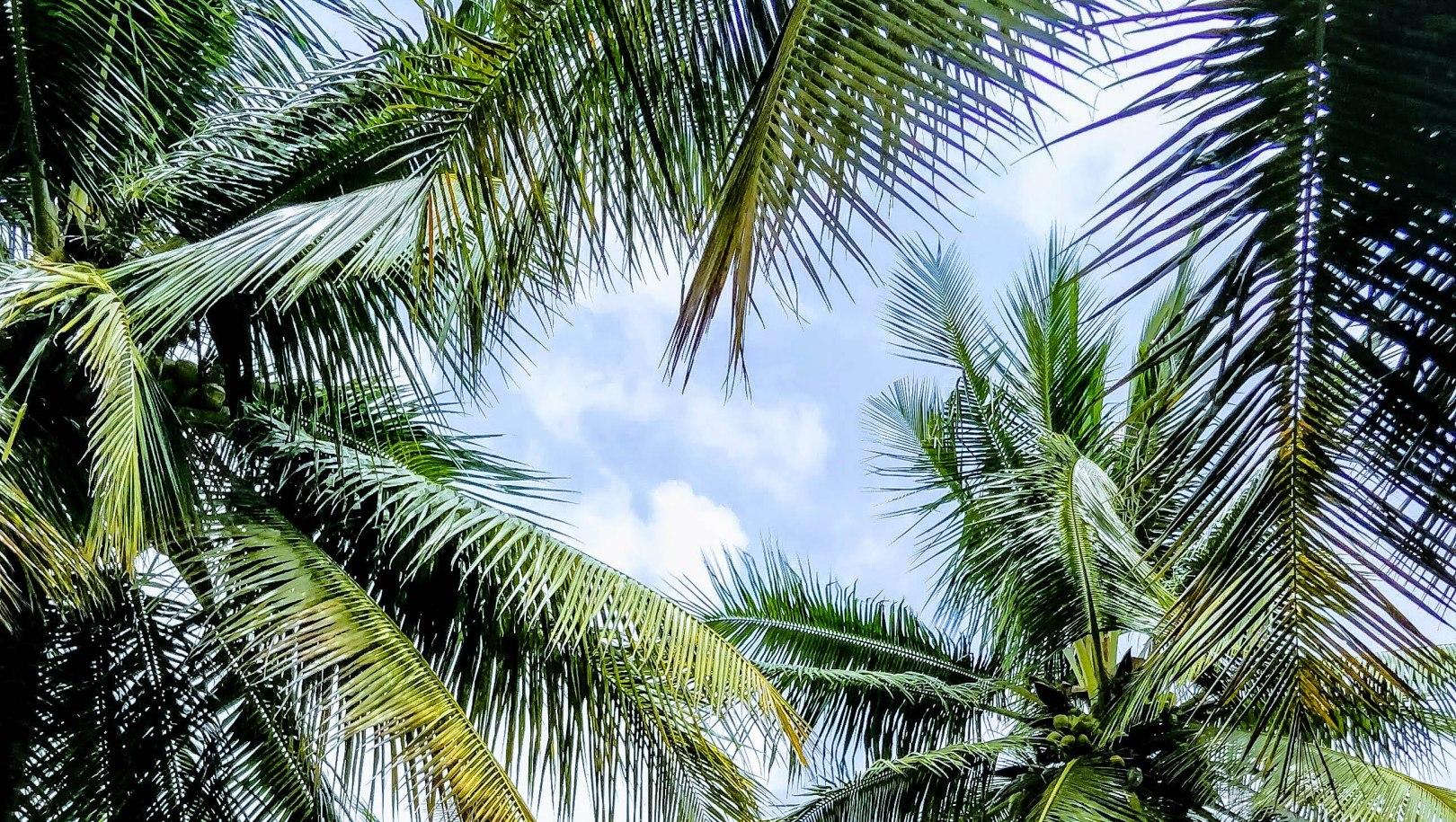 Palm Trees Bangalore